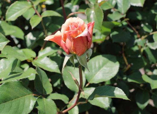 数輪の房咲きになることもあるHT種