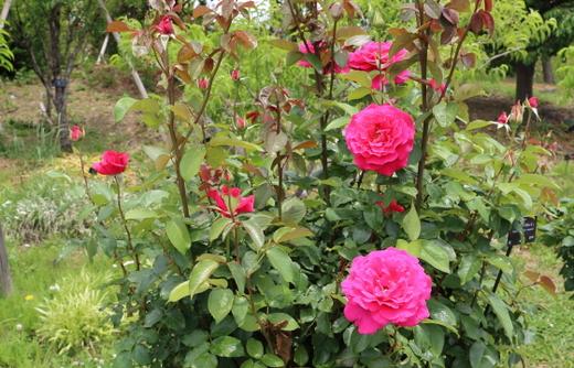 濃いローズピンク色の大輪花