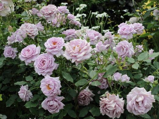 シルバーを帯びた淡い紫色のバラ