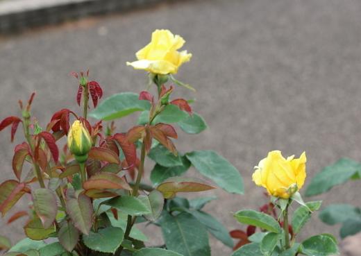 純黄色のハイブリッドティー系統のバラ