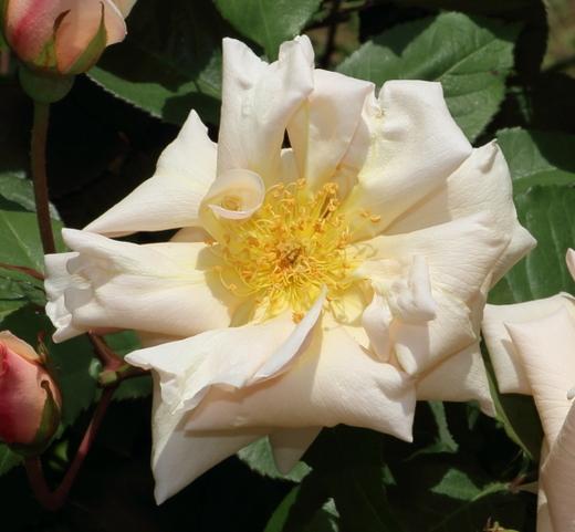 オールドローズのティー系統のバラ