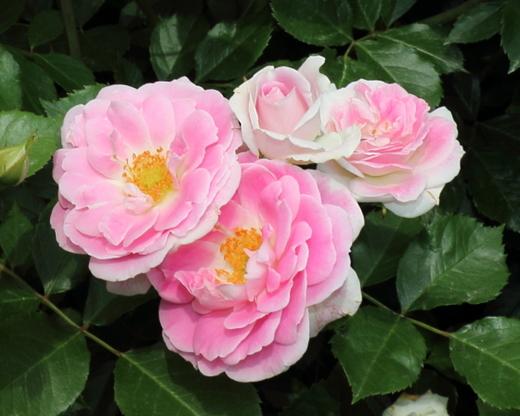花弁の表がピンク色で裏が白色のバラ