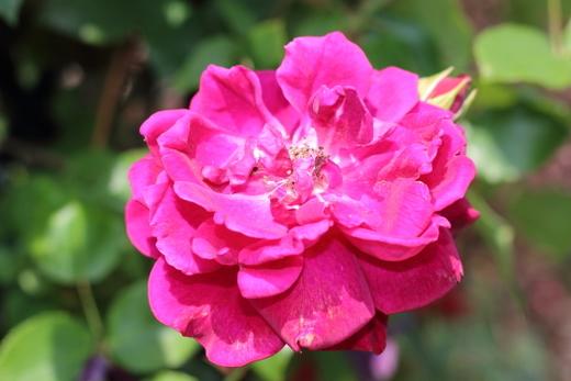 under-the-rose-9977.JPG
