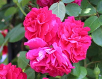 under-the-rose-9980.jpg