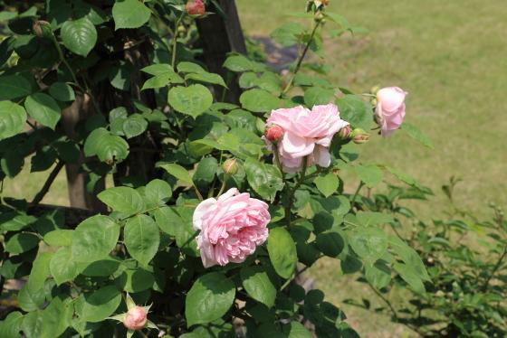 ナエマは数輪の房咲きになり花つきがよい